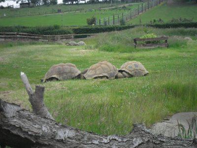 Three large Tortoises